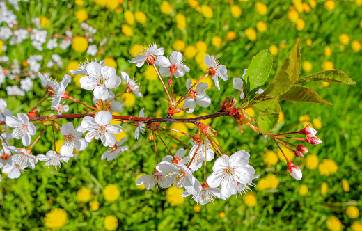 Blooming Branch Of Cherry Tree On Background Of Green Meadows With Dandelions Stock Photo & More Pictures of Agricultural Field