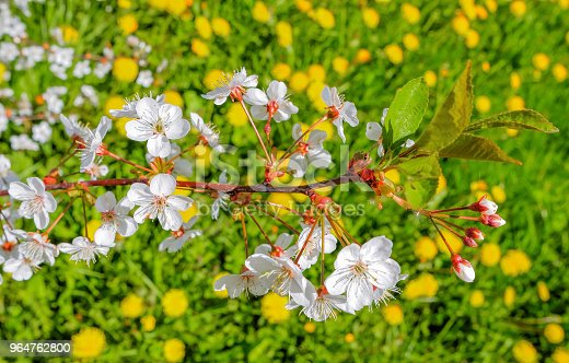 Blooming Branch Of Cherry Tree On Background Of Green Meadows With Dandelions Stock Photo & More Pictures of Agriculture