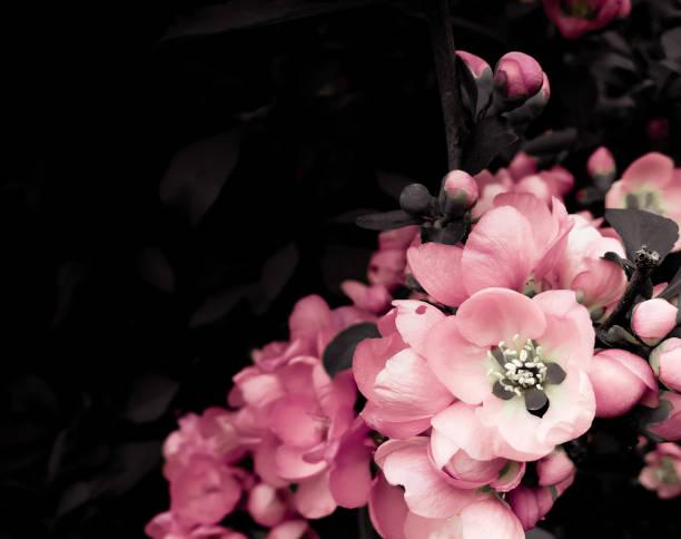 Blühende Zweigstelle von japanischen Quince Tree. Pink Flowers. Dark Vintage Floral Background. Tonbild im Retro-Stil – Foto