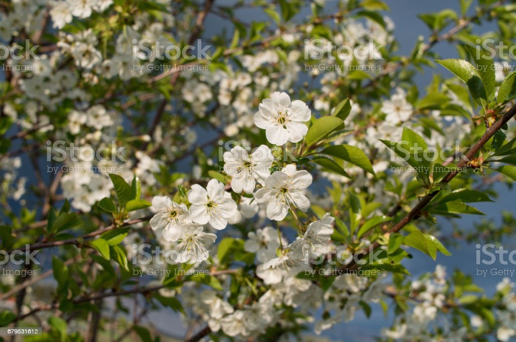 Blooming branch of sour cherry tree in spring. royalty-free stock photo