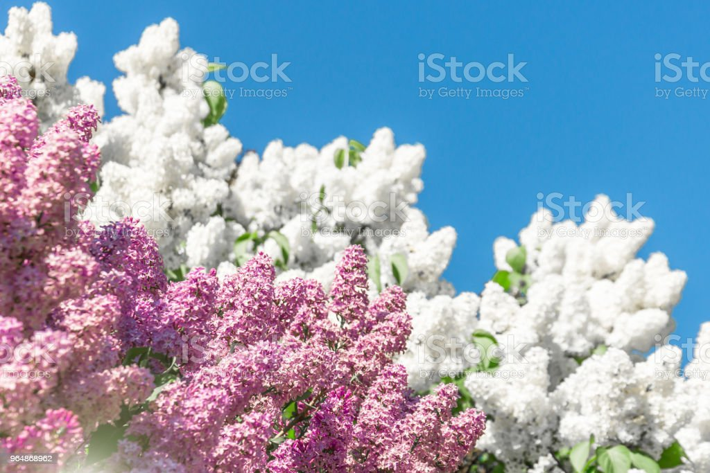 Blooming brush of lilac bush - white and purple color, against the blue sky. royalty-free stock photo