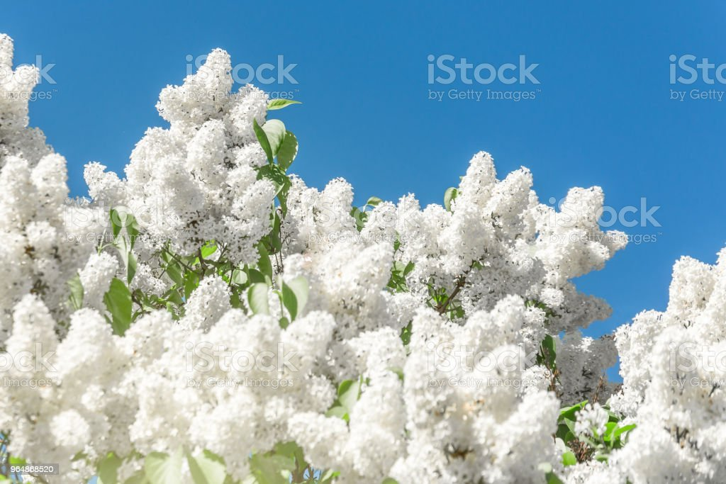 Blooming brush of lilac bush - white color, against the blue sky. royalty-free stock photo