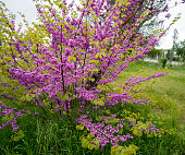Blooming Bush of Cercis in Crimea