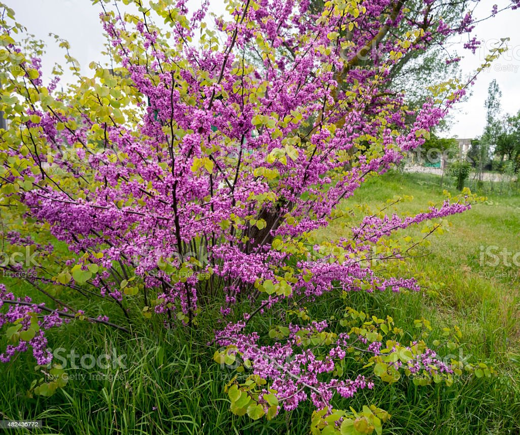 Blooming Bush of Cercis in Crimea stock photo