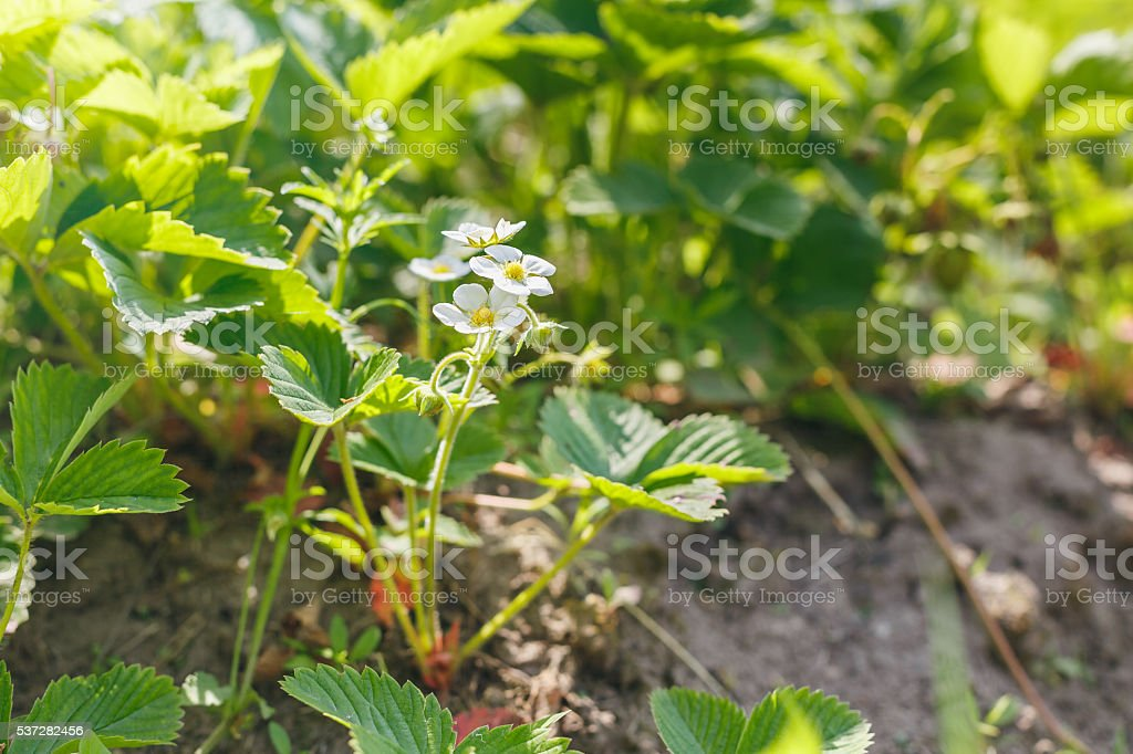blooming Bush of the strawberry ground stock photo