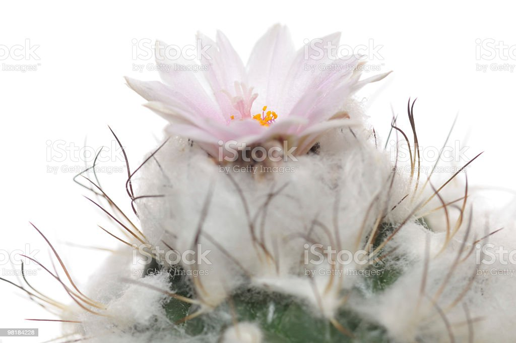 Blooming cactus beautiful purple flower  isolated on white. royalty-free stock photo