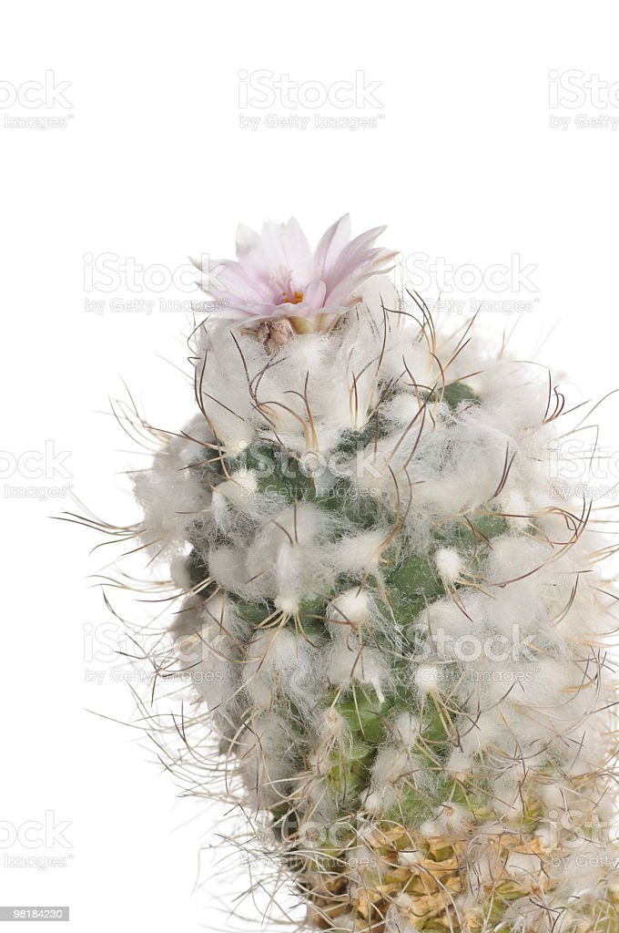 Blooming cactus beautiful purple flower. royalty-free stock photo