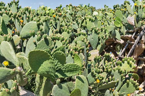 Blooming cactus Coccinellifera plantation. Cyprus.
