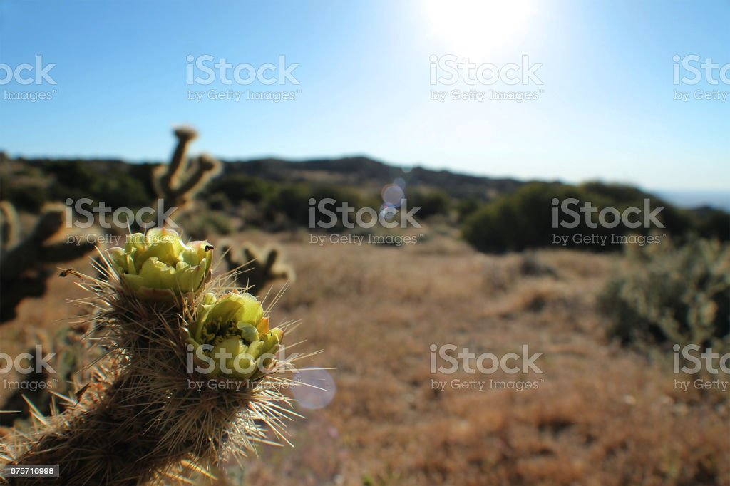 Blooming Cactus Flower in the Sun stock photo