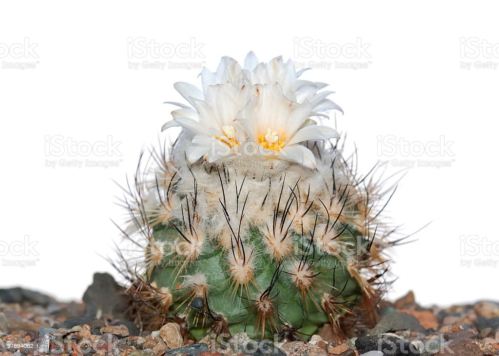 Blooming cactus  isolated on white. royalty-free stock photo