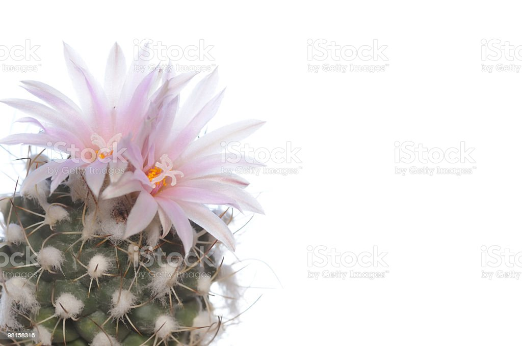 Blooming cactus on a white background royalty-free stock photo