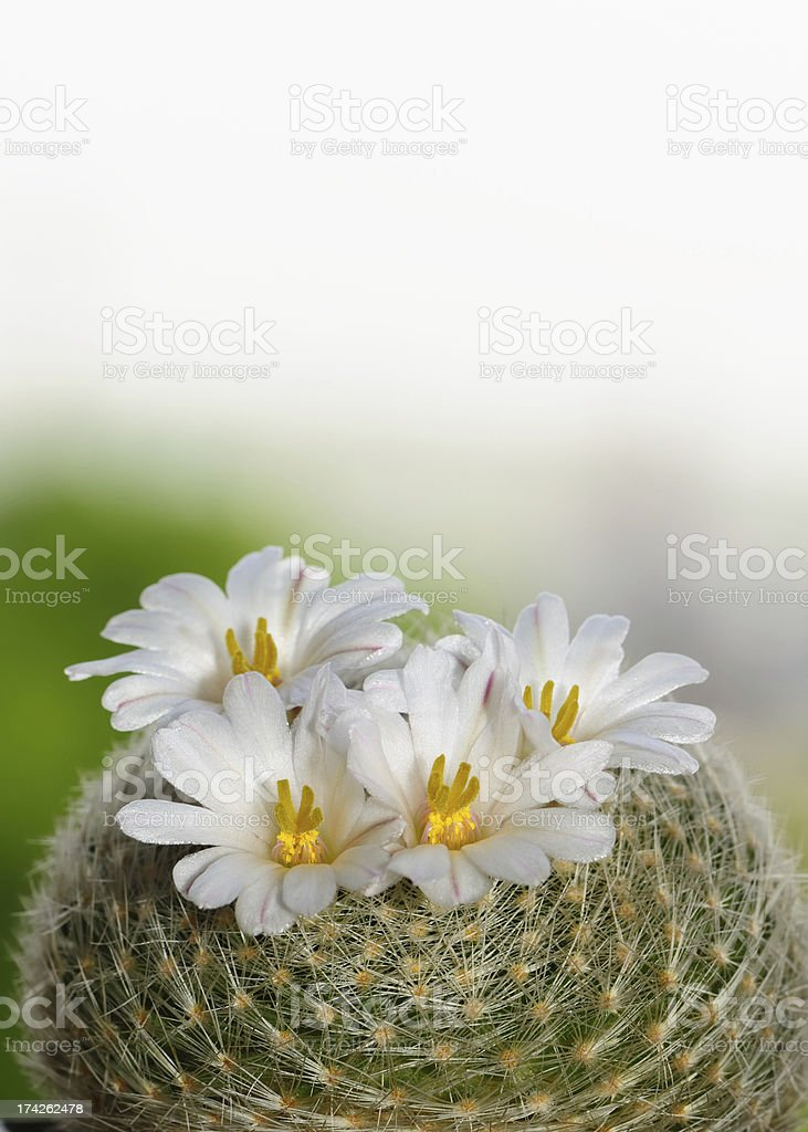 Blooming cactus royalty-free stock photo