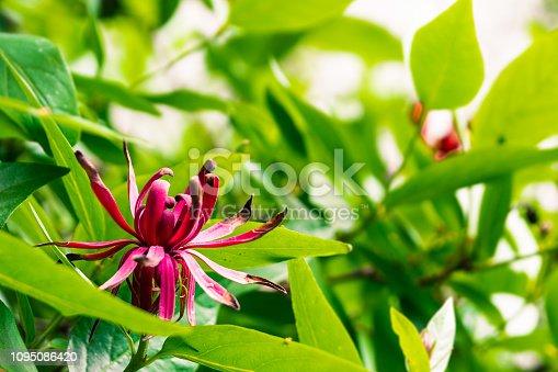 Blooming California spicebush (Calycanthus occidentalis), south San Francisco bay area, California
