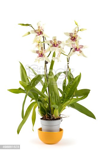 blooming Cambria orchid in flower pot. Cambria is a breeding orchid, it dont grow in the nature. This color calls