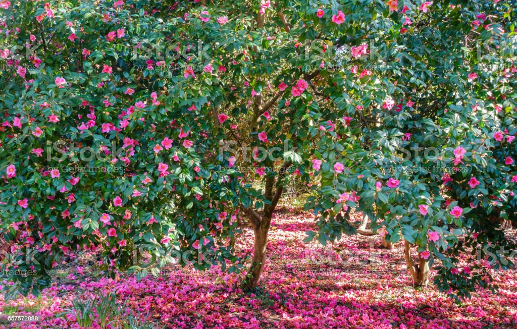 Blooming Camellia Trees with Pink Flowers stock photo