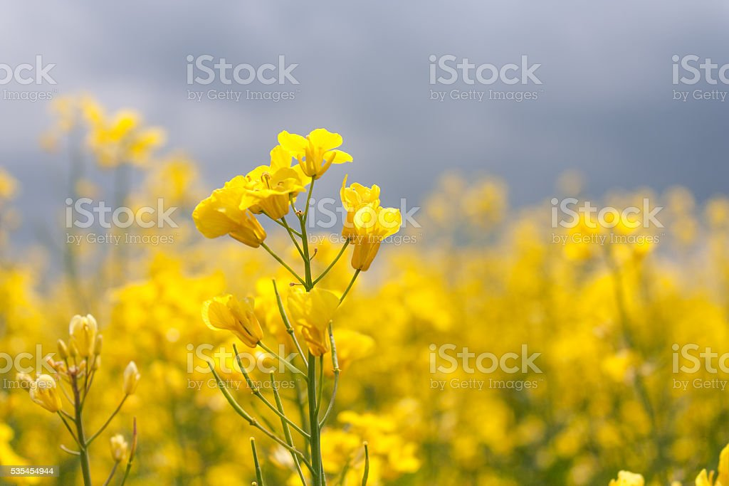 Blooming canola closeup stock photo