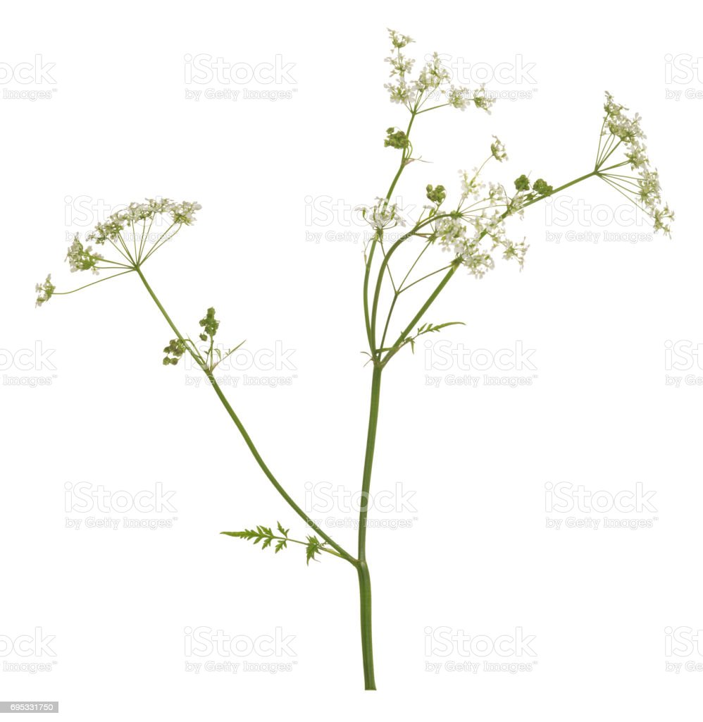 Blooming caraway, Carum carvi isolated on white background stock photo