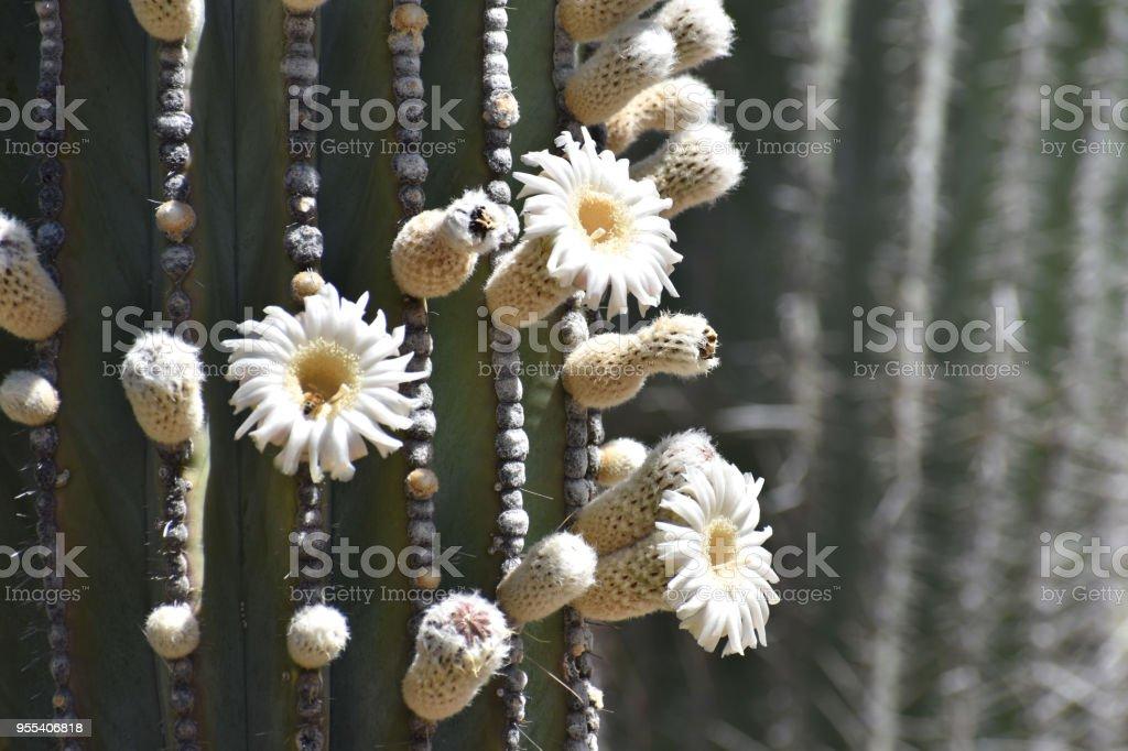 Blooming Cardon Cactus - Zbiór zdjęć royalty-free (Bez ludzi)