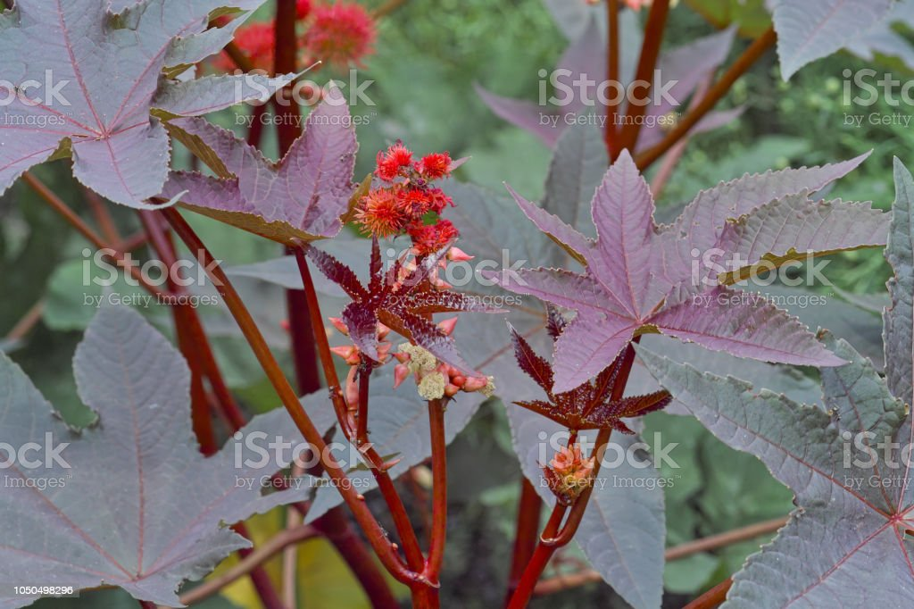 Blooming Castor Oil Plant Ricinus Communis Bavaria Germany Europe Stock Photo Download Image Now Istock