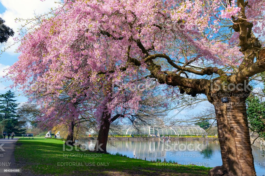 Blooming cherry blossom trees at Kew Gardens, a botanical garden in southwest London, England, houses the largest and most diverse botanical and mycological collections in the world stock photo
