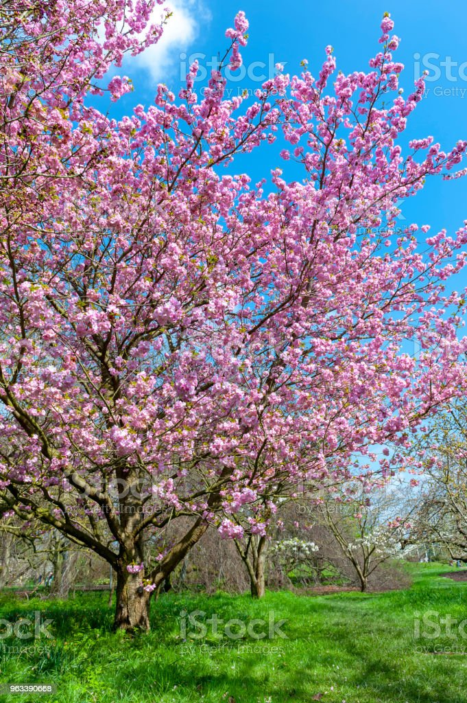 Blooming cherry blossom trees in the garden stock photo