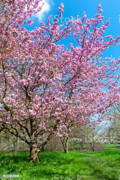 Kwitnące Drzewa Kwitnące Wiśniami W Ogrodzie - zdjęcia stockowe i więcej obrazów Ogródek przydomowy