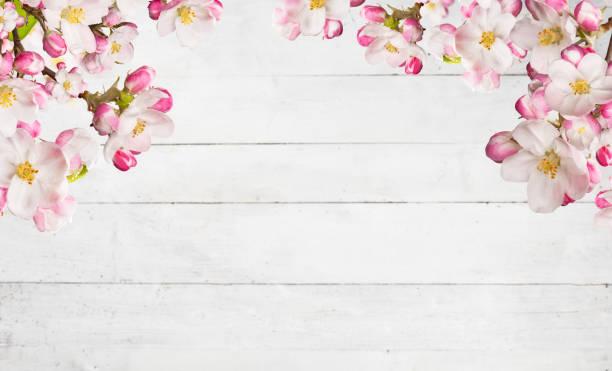 blommande körsbärsträd blommar med gamla plankor - maj bildbanksfoton och bilder