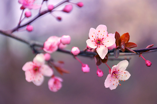 Blooming cherry flowers branch in spring