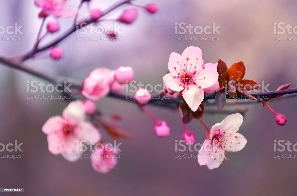 Blooming cherry flowers branch in spring stock photo