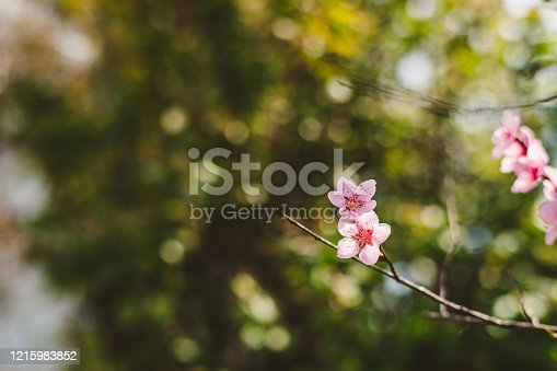 Blooming Cherry Branches in Spring