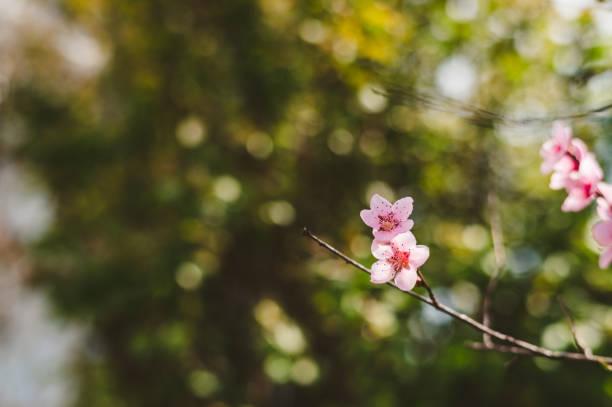 Blühende Kirsche im Frühling – Foto