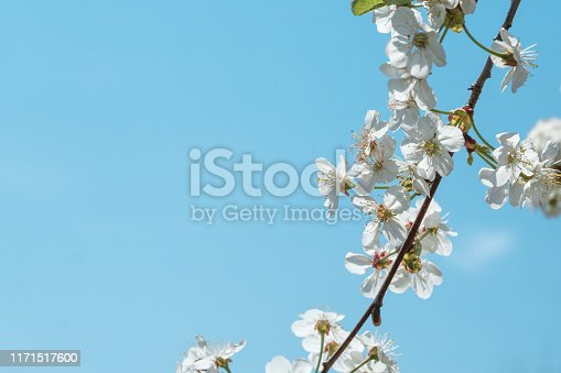 Blooming cherry on a background of clear blue sky.