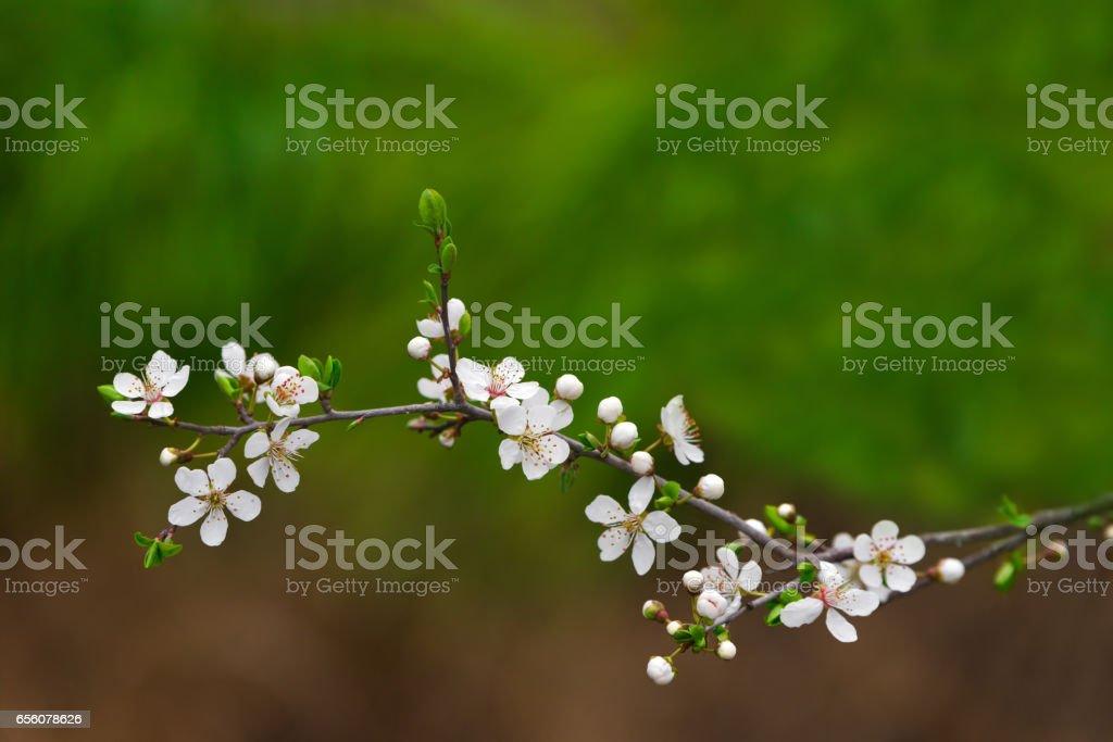 Blooming cherry stock photo