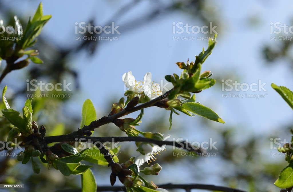 Blooming cherry tree against the blue sky royalty free stockfoto