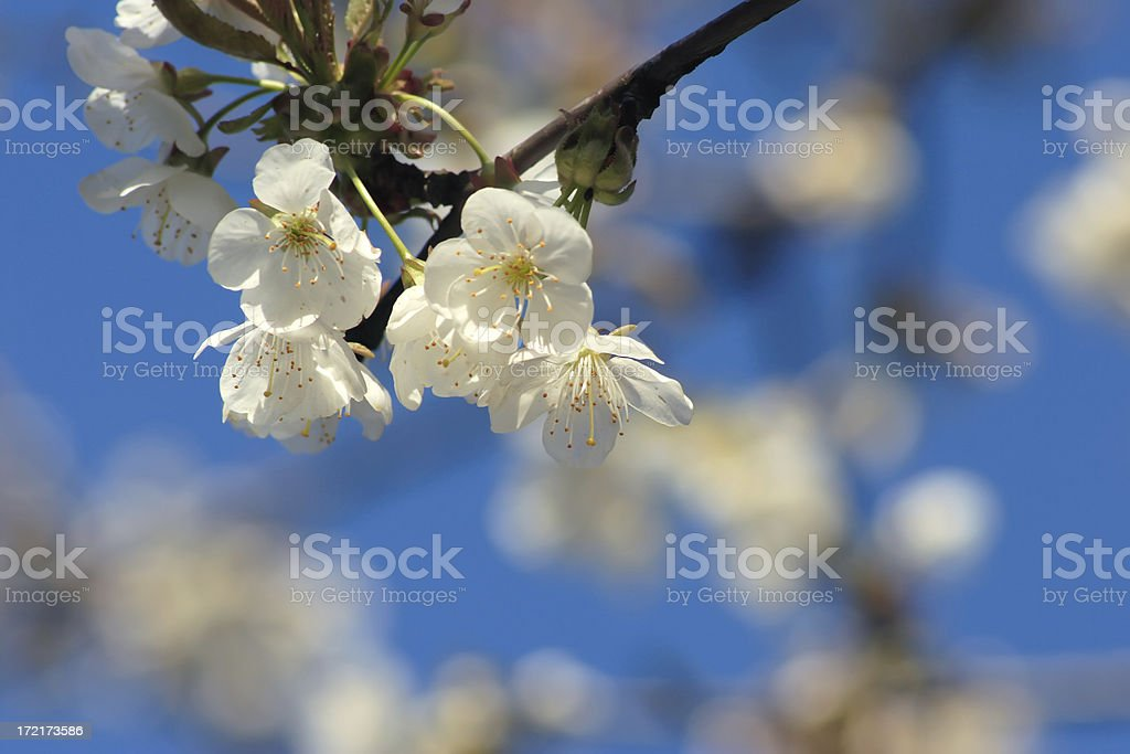 Blooming cherry tree and blue sky royalty-free stock photo