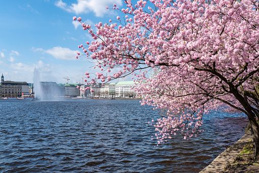 blooming cherry tree at Alster lake shore in Hamburg, Germany on sunny day