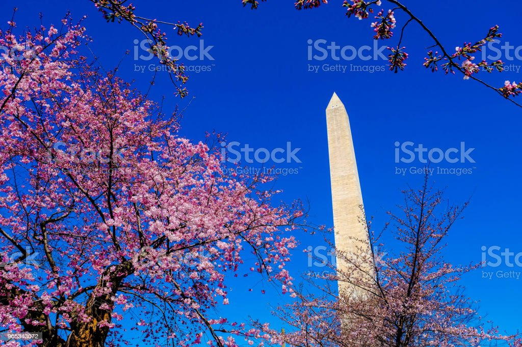 Blooming Cherry Tree Blossoms on Washington Monument 2 zbiór zdjęć royalty-free