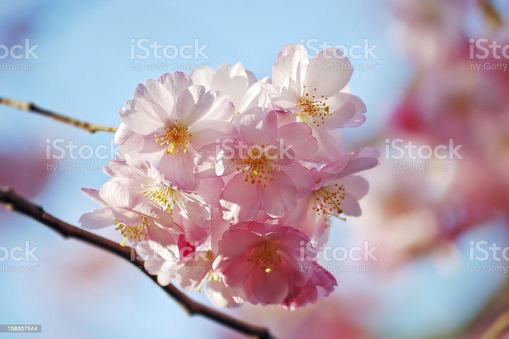 개화 벚나무 지점 royalty-free 스톡 사진