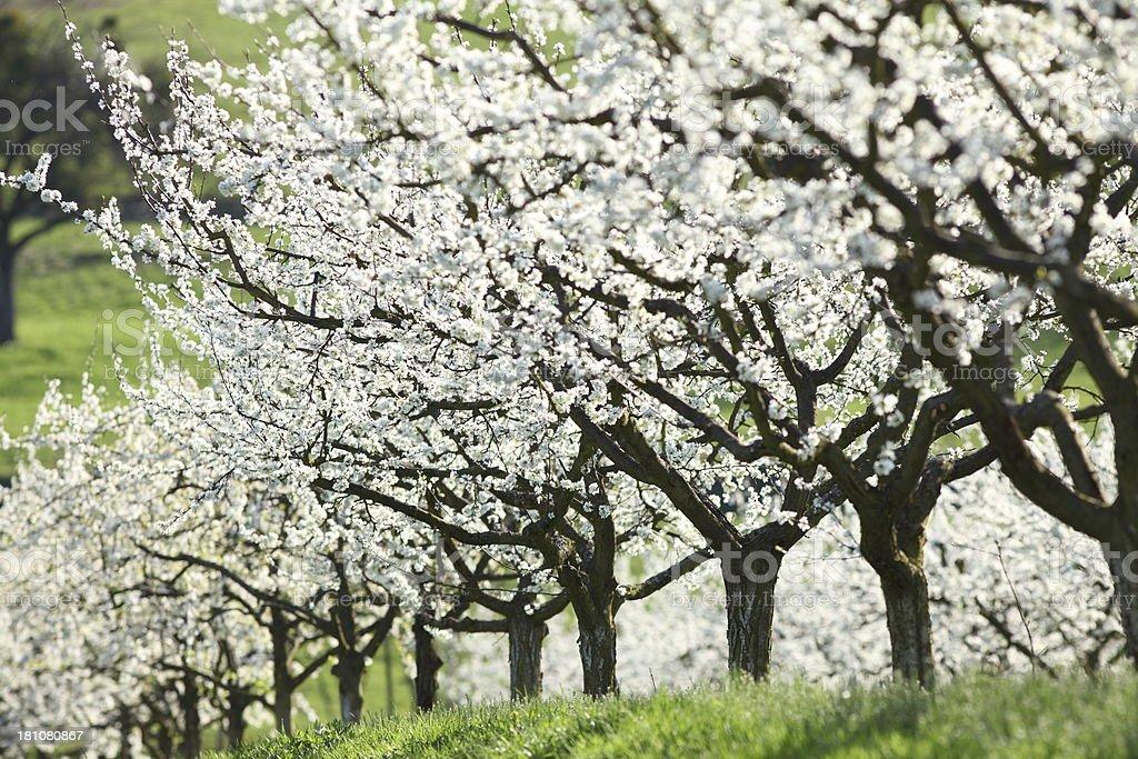 Blühenden Kirschbaum im Frühling – Foto