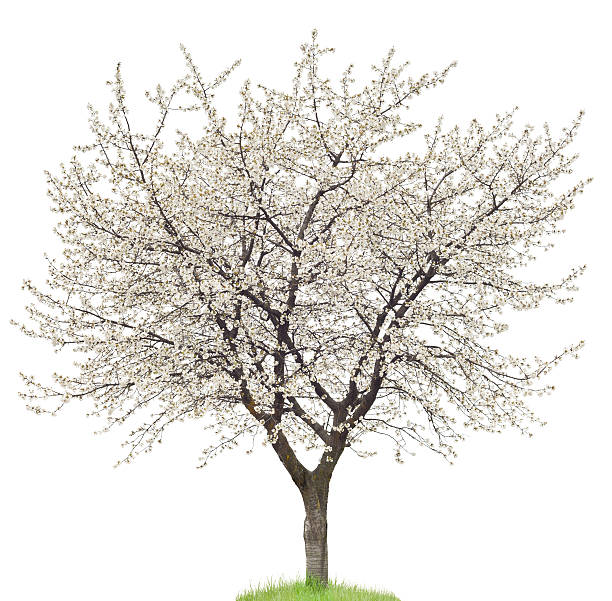 Blooming Cherry Tree On White Cherry tree with flowers isolated on white. blossom stock pictures, royalty-free photos & images