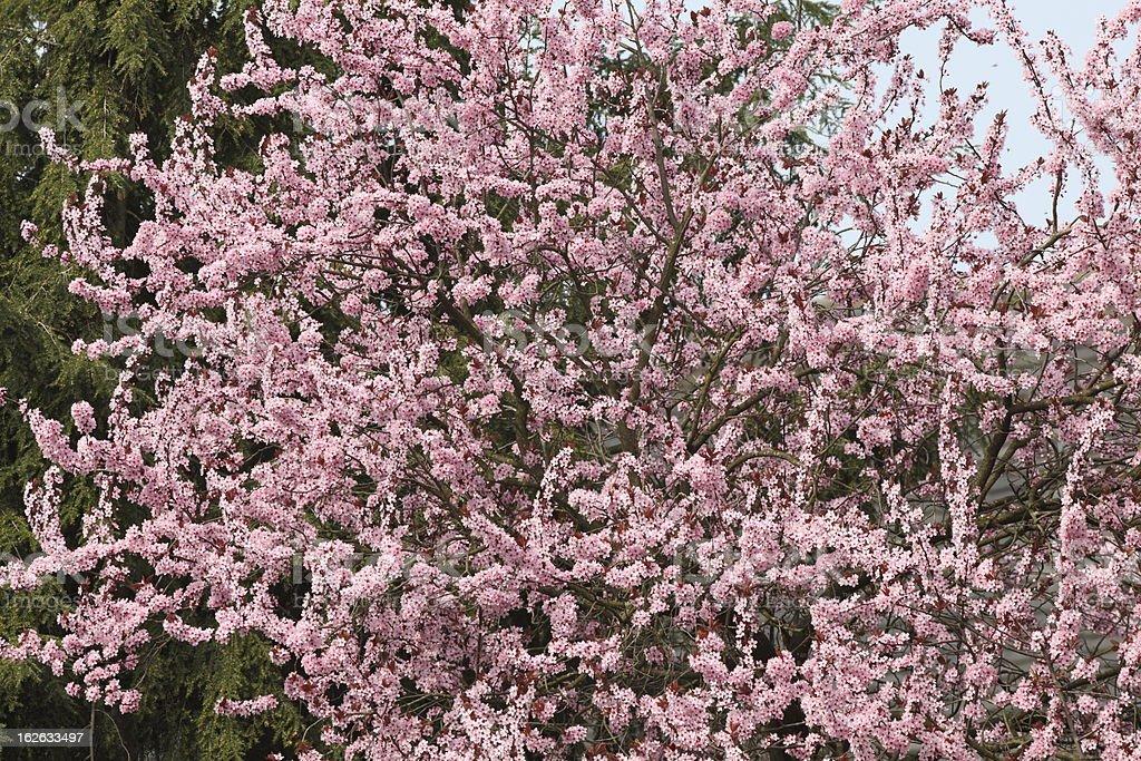 Blühenden Kirschbaum – Foto