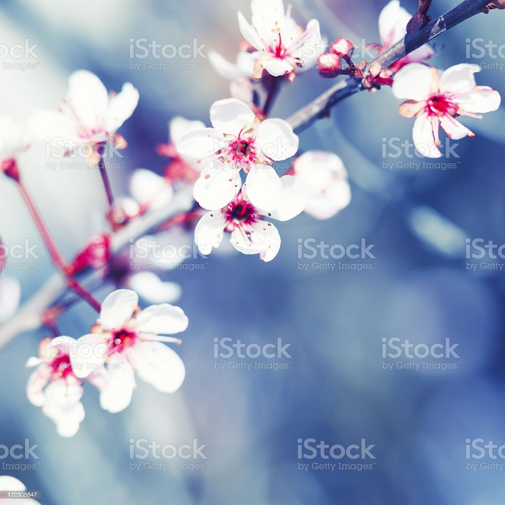 Blooming cherry tree royalty-free stock photo