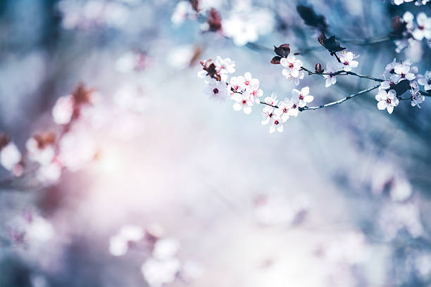 blooming cherry tree - sakura background stock photos and pictures