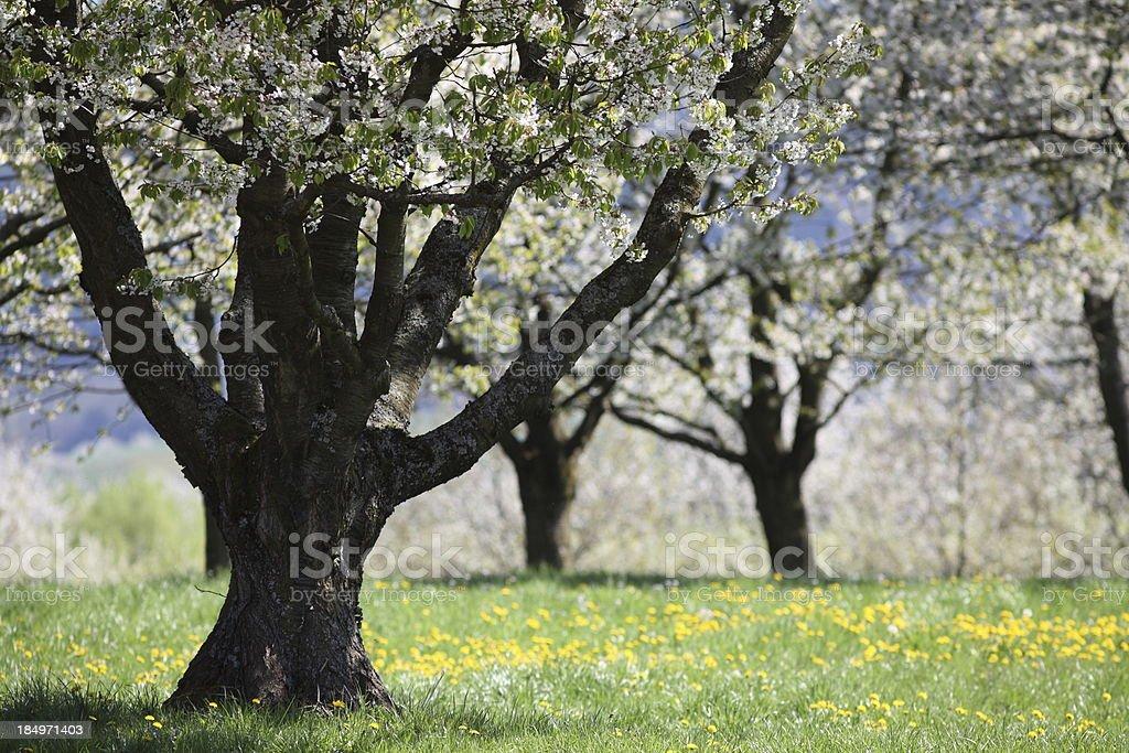 Blühende Kirsche Baum mit Löwenzahnmotiv – Foto