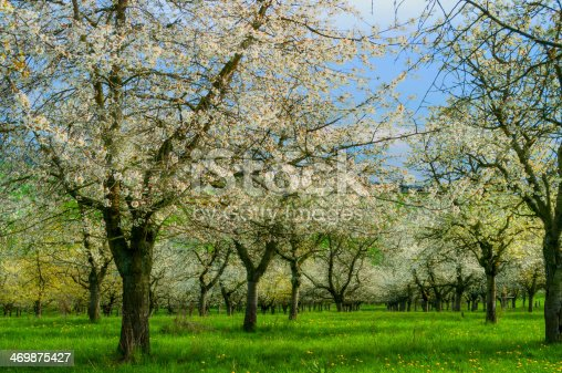 old blooming cherry trees in spring