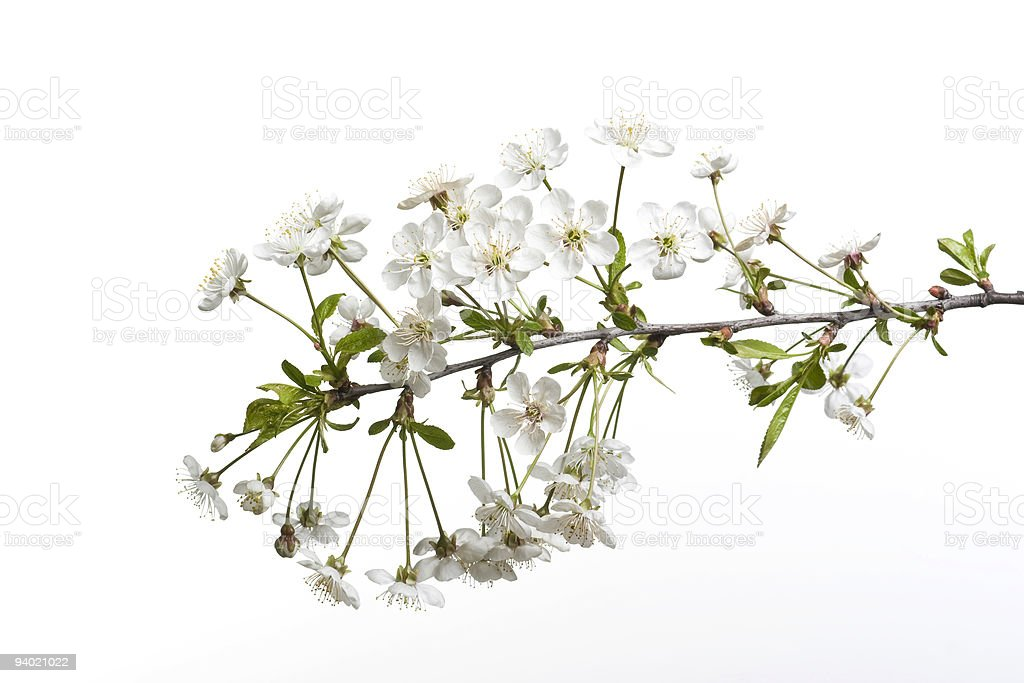 Blooming cherry twig on the white background royalty-free stock photo