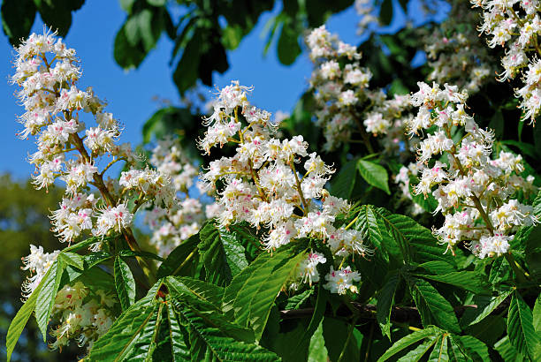 Blooming chestnut, close-up stock photo