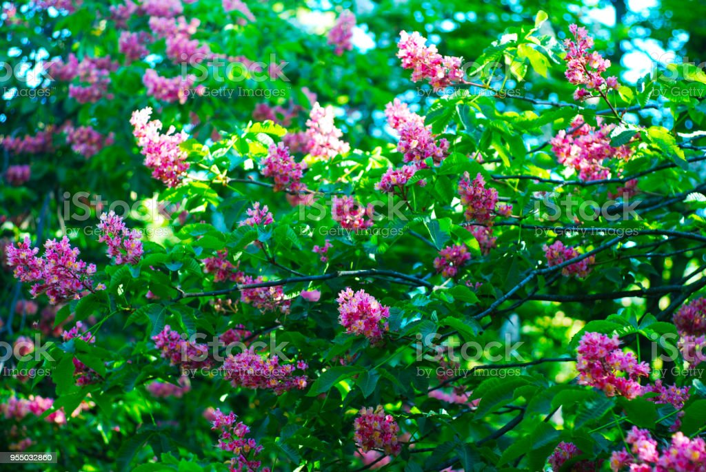 Blooming chestnut tree pink blossomed flowers of a chestnut tree blooming chestnut tree pink blossomed flowers of a chestnut tree flowers and gardening mightylinksfo