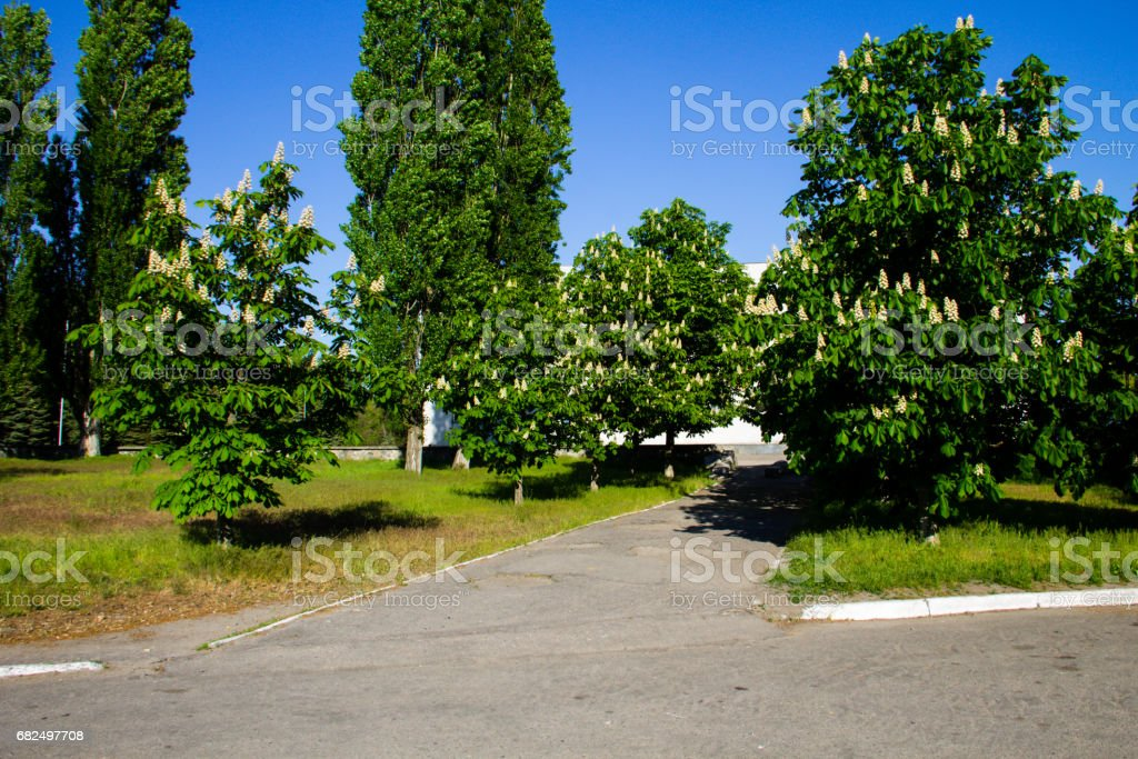 Blooming chestnut trees in a park royalty-free stock photo