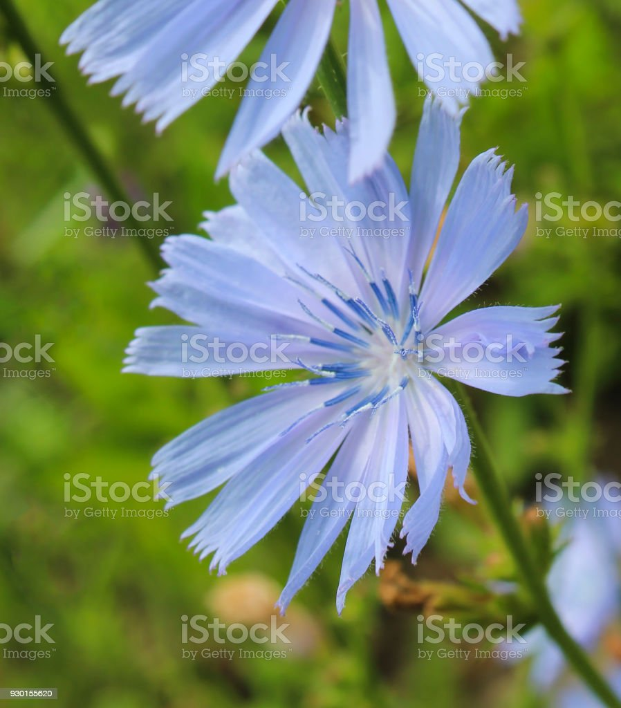 Blooming Chicory Stock Photo & More Pictures of Blooming Time Lapse ...